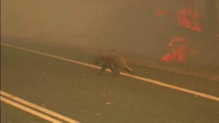 Woman endangers herself to rescue koala scorched in bushfire