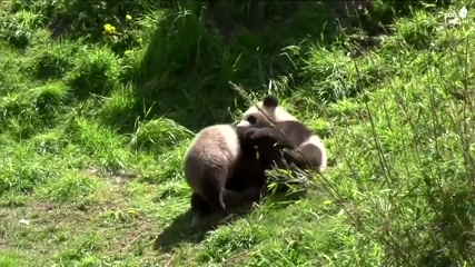 Roly-poly: giant panda twins play with mother at Germany's zoo
