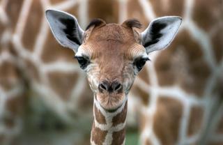 Zoo names baby giraffe Corona
