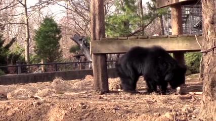 Two sloth bears strike up rare friendship