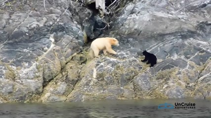 Rare white 'spirit' bear with cub sighted in Canada