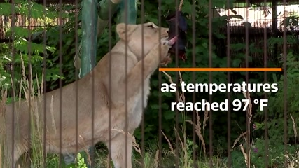 London lions beat the heat with icy meat-pops
