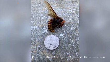 'Murder hornets' survived winter in the U.S.