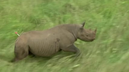 Rhinos in Kenya face new threat from antibiotic resistance